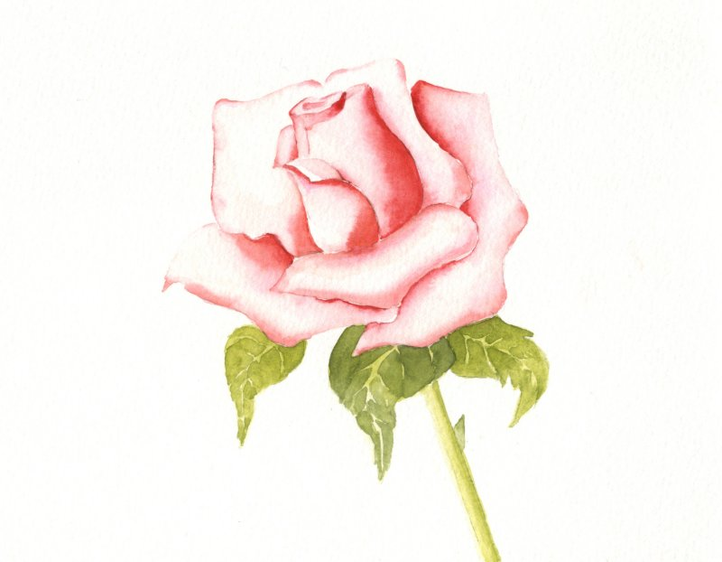 une rose rose aquarelle acrylique et dessin par alain d chorgnat. Black Bedroom Furniture Sets. Home Design Ideas